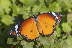 Buttterfly photos stock