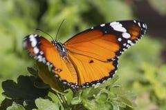 Buttterfly photo stock
