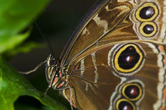 buttterfly sowa Zdjęcie Stock