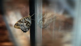 Buttterfly on window where is its reflection stock video footage