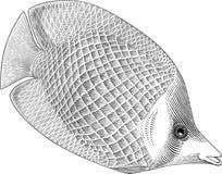 Buuterflyfish Stock Images