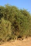 Buxaceebäume Stockbilder