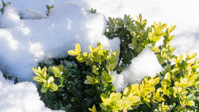 Buxbom - i vinter med snö arkivbilder