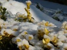 Buxbom som täckas beautifully med snö Den härliga vintern landscape Arkivbilder