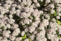 Buxifolium del Leiophyllum Foto de archivo