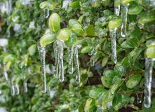 Buxo Bush encerrado no gelo - 2 Foto de Stock