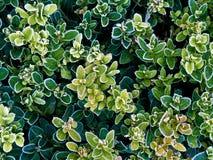 Buxo com as folhas verdes congeladas Foto de Stock Royalty Free