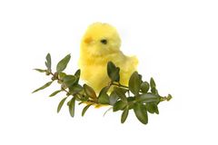 Buxo da galinha da Páscoa Fotografia de Stock