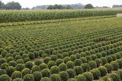 Buxus Stock Photography
