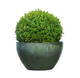 Buxus. In clay pot on white Royalty Free Stock Photo