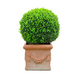 Buxus Stockfotos