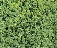 Buxus Stock Photos
