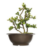 Buxus bonsai tree, isolated Stock Photography