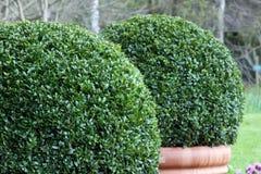 buxus bush стоковые изображения rf