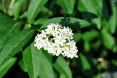 Buxus bush with white flowers brunch, blurry background. Buxus bush with white flowers brunch, soft blurry background stock photography