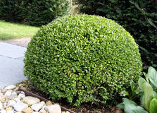 Buxus de Bush (Buxus) Images stock