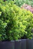 Buxus de Bush (Buxus) photographie stock