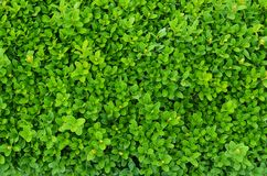 Buxus evergreen shrub Royalty Free Stock Images