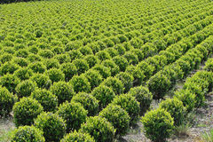 Buxus field Stock Image