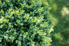 Buxus hedge. In the garden Stock Photography