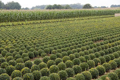 Buxus Royalty Free Stock Image