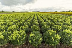 Buxus microphylla `Green Pillow` Royalty Free Stock Images