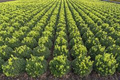 Buxus microphylla `Green Pillow` Stock Image