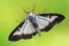 The buxus moth Cydalima perspectalis, In the past this moth became Diaphania perspectalis Royalty Free Stock Photos