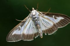 The buxus moth originates in East Asia, Japan, China and South Korea but now also occurs in Europe Royalty Free Stock Images