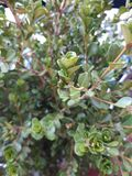 Buxus is an ornamental plant widespread in Europe with which topiary art is made. Buxus ornamental plant widespread europe which topiary art made stock photos