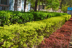 Buxus and Other multi-colored bushes Royalty Free Stock Images