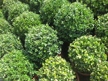 Buxus plants Royalty Free Stock Image