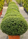Buxus pumila Royalty Free Stock Images