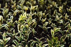 Buxus seedlings Stock Photos