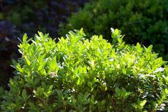 Buxus sempervirens bush close up stock photos