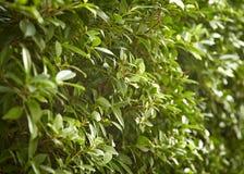 Buxus sempervirens bush Royalty Free Stock Photo