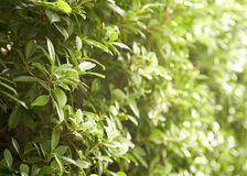 Buxus sempervirens bush Royalty Free Stock Photography