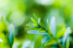 Buxus sempervirens bush Royalty Free Stock Images