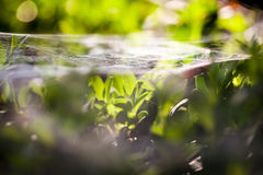Buxus sempervirens bush - macro details with spiderweb Stock Photos