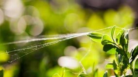 Buxus sempervirens bush - macro details with spiderweb Stock Photo