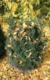 Buxus Sempervirens della pianta del legno di bosso nel gardena botanico Fotografia Stock