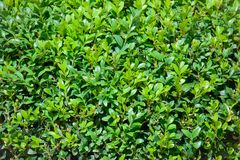 Buxus sempervirens plant Royalty Free Stock Photography