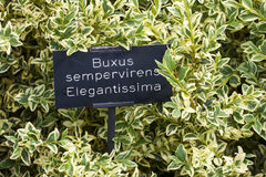 Buxus shrub with latin name description Stock Photos