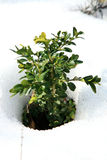 Buxus in snow, early spring Royalty Free Stock Photos