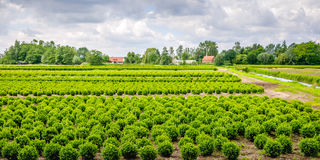 Buxus tree nursery in a rural area Royalty Free Stock Photos
