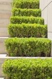 Buxus verde Foto de Stock Royalty Free