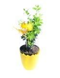 buxussempervirens Royaltyfria Bilder
