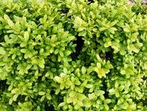 buxussempervireus Royaltyfria Foton