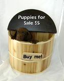 Buy Me!. Puppy peeks out of barrel. Brown labrador retreiver in tan and brown barrel. Sign above his head says puppies for sale royalty free stock image