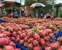 Buyers and many boxes with ripe dragon fruit Royalty Free Stock Image